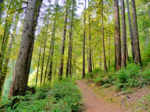 A firt walking track surrounded by trees