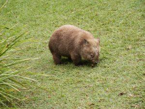 A wombat on grass